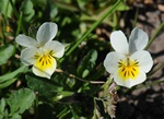 Pense des champs (Viola arvensis)